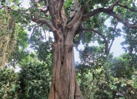 Iroko: hout met geneeskundige krachten